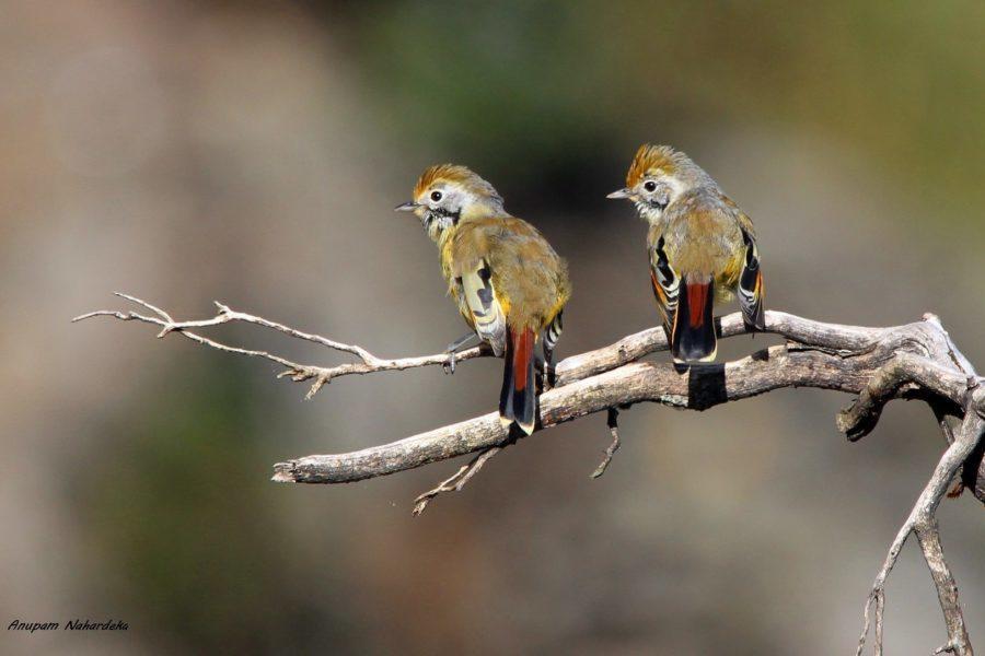 Chestnut-tailed Minla | Minla strigula
