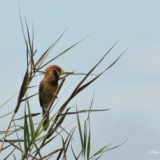 Black-breasted parrotbill | Paradoxornis flavirostris