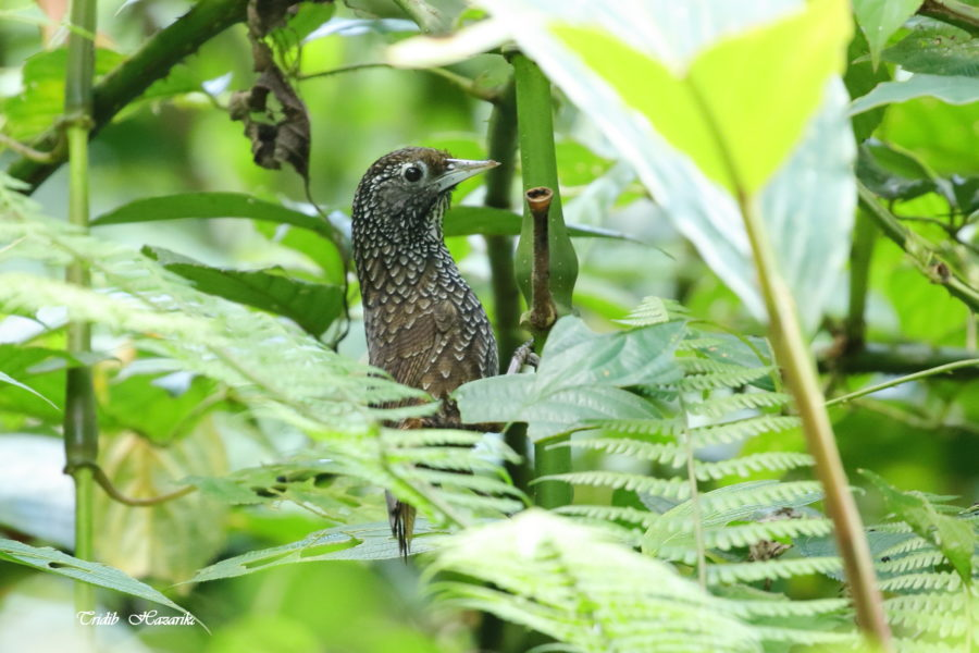 Cachar wedge-billed babbler / Chevron-breasted Babbler | Sphenocichla roberti