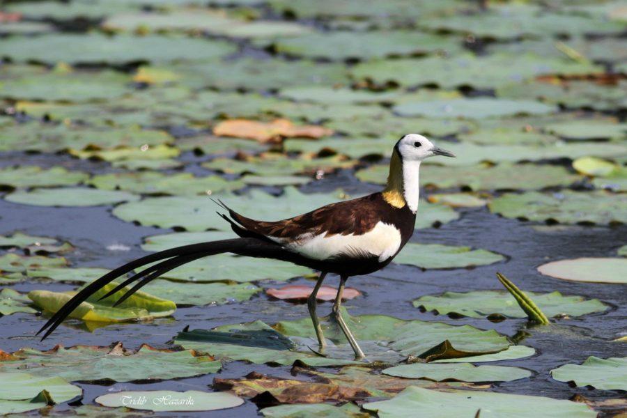 Pheasant-tailed jacana | Hydrophasianus chirurgus
