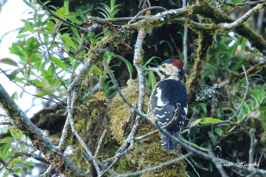 Darjeeling woodpecker   Dendrocopos darjellensis