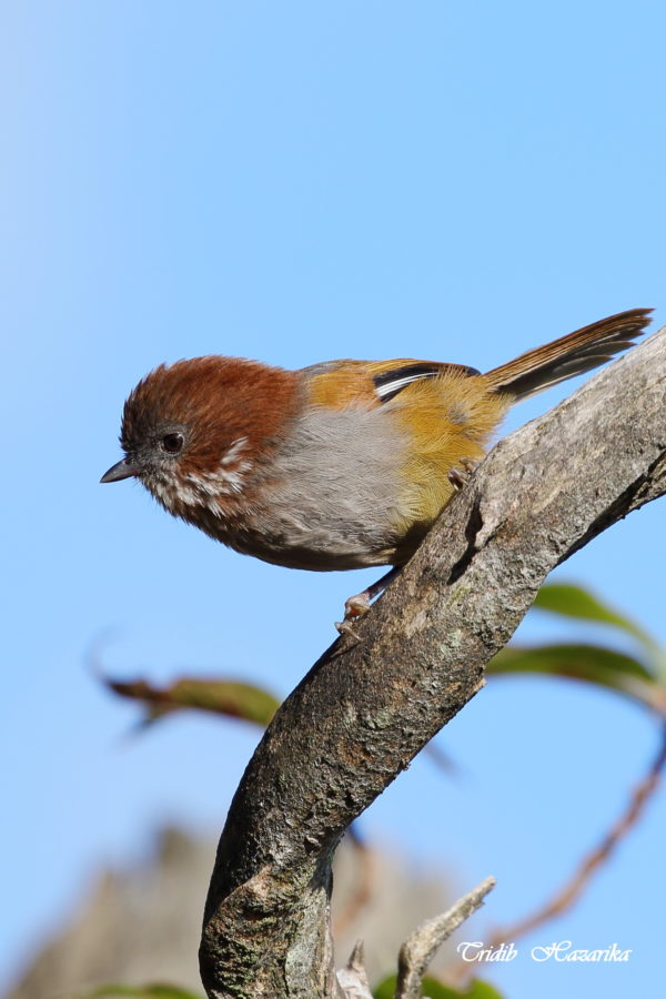 Brown-throated fulvetta | Fulvetta ludlowi