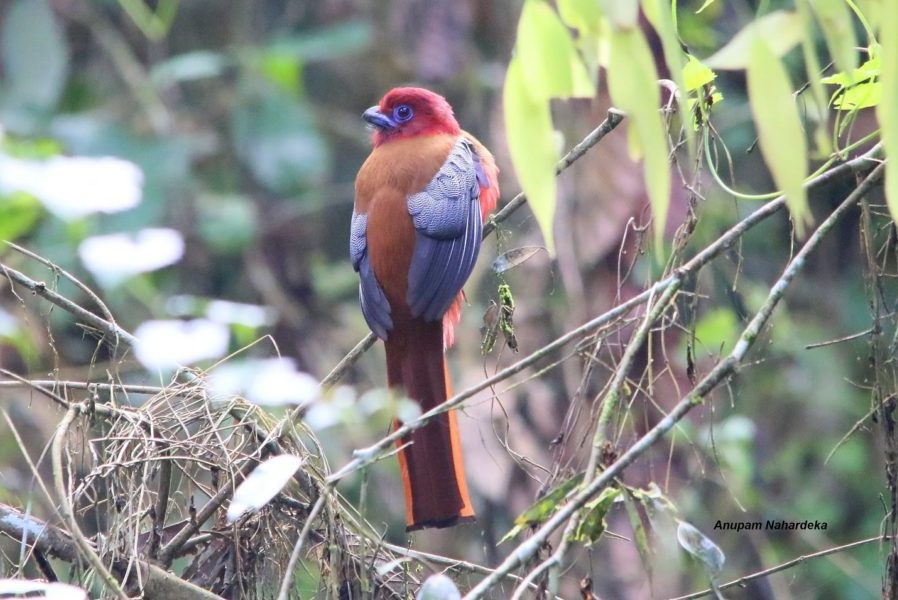 Red headed trogon | Harpactes erythrocephalus