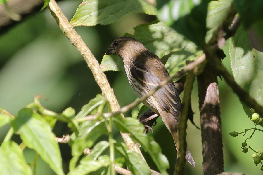 Fig 16 rosefinch