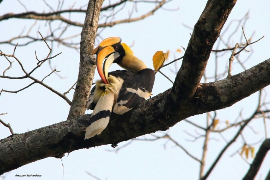 Great hornbill, Manas, Dec 17