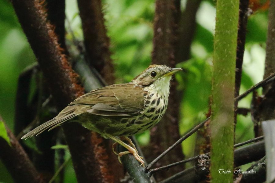 Puff-throated babbler | Pellorneum ruficeps