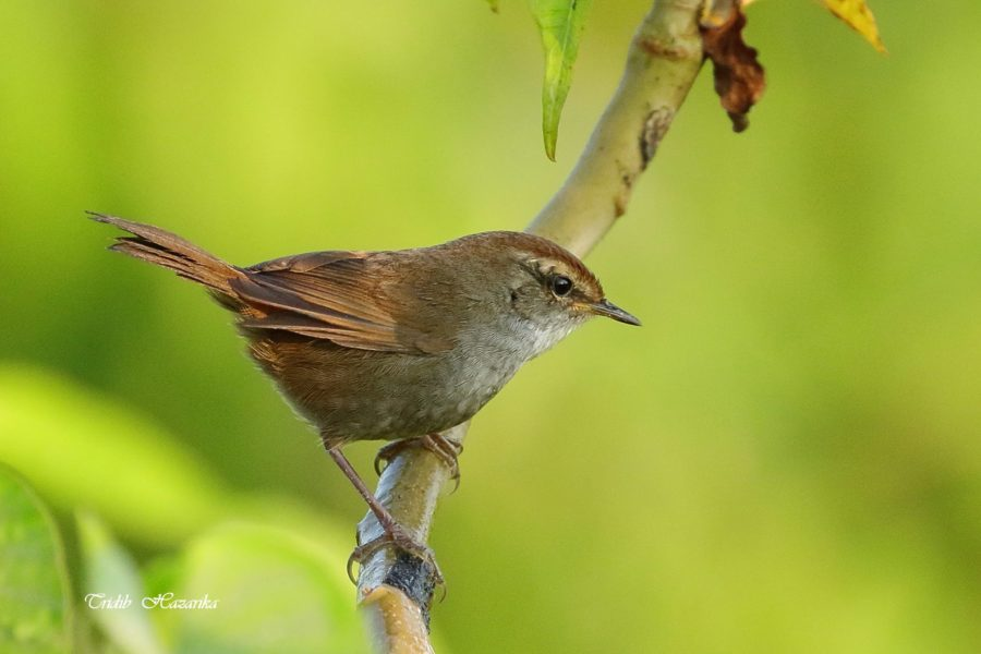 Grey-sided bush warbler | Cettia brunnifrons