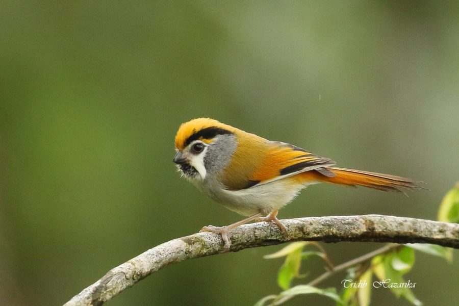 Black Throated Parrotbill | Paradoxornis nipalensis