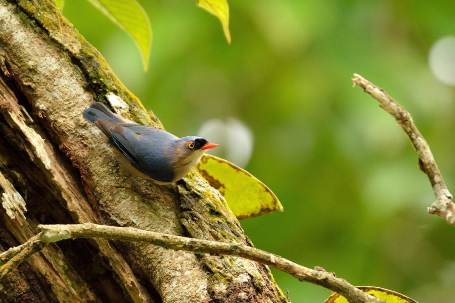 Velvet-fronted nuthatch | Sitta frontalis