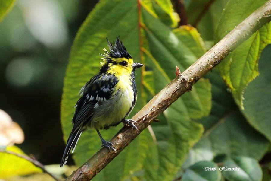 Yellow-cheeked tit | Parus spilonotus